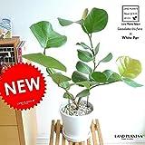 LAND PLANTS シーグレープ 白色デザイン陶器