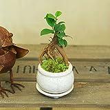 がじゅまる 観葉植物:ミニガジュマル*陶器鉢 受け皿付 苔付き (白)