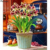 1ピースHippeastrum種子真アマリリス種子Hippeastrum rutilum花種子バルバドスユリ鉢植え種子用ホームガーデン:5