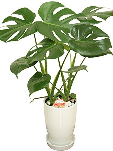 RoomClip商品情報 - 観葉植物 モンステラ6号陶器鉢