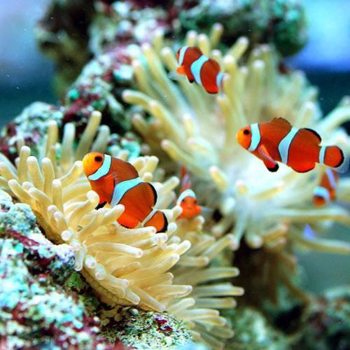 (海水魚 熱帯魚)カクレクマノミ(国産ブリード)(1匹) 本州・四国限定[生体]