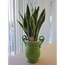 サンセベリア(サンスベリア) 8号 手付きつぼ陶器鉢 「トラの尾」と呼ばれ、マイナスイオンを発生させる優れた観葉植物です。個性的なデザイン鉢は、お部屋のインテリアや様々なギフト、開店祝い、新築祝い、母の日などにもおすすめです。