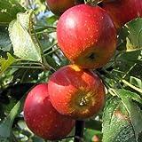 リンゴ:アルプス乙女4~5号ポット[豊産性のミニリンゴ・アルプスおとめ][苗木]