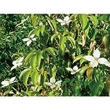 ヤマボウシ(山法師)・ホンコンエンシス 常緑 紅葉 食用可 果実 植木