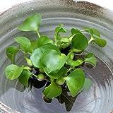 (ビオトープ/浮草)ホテイ草 国産(ホテイアオイ)(5株) 金魚 メダカ
