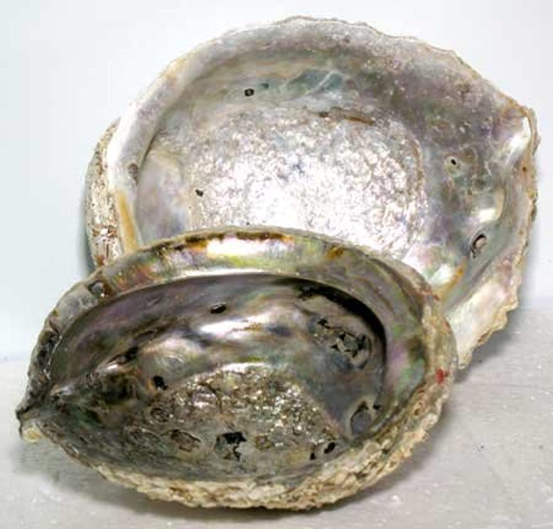 嘆願焦げ独立してAbalone Shell Incense Burner