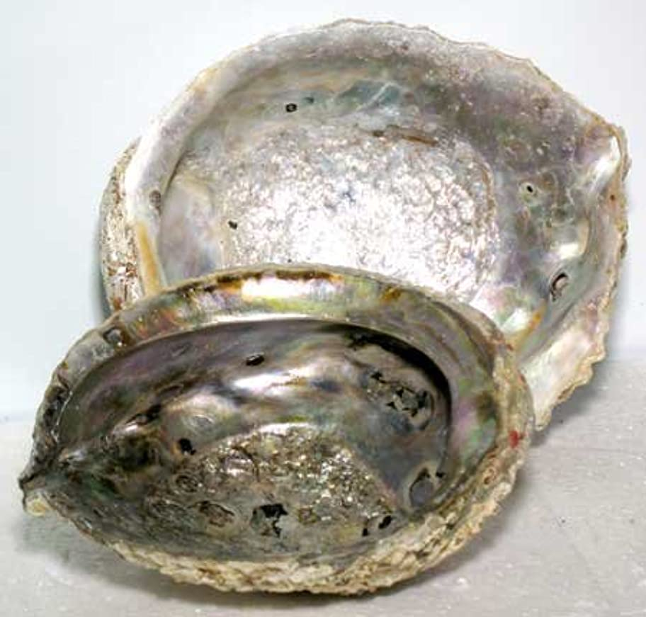 ビール有彩色の乱用Abalone Shell Incense Burner
