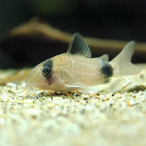 (熱帯魚)コリドラス・パンダ(3匹) 本州・四国限定[生体]