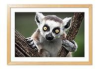 ワオキツネザル 動物の写真木製額縁アートポスター(35cmx50cm 原色)