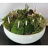 苔盆栽(小) [鉢直径18cm コケ5種以上の寄せ植え・品種札付き人気商品]