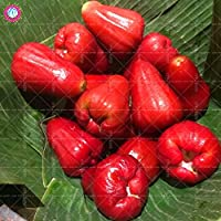 30個ミックスワックスアップルレアユージニアジャワニカラム盆栽種子ホームガーデンポットの種子の色 - 3の多年生の熱帯果実