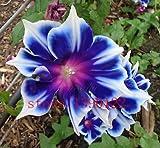 成長して家の庭のための植物は簡単に100個/袋覆輪ブルー朝顔の種、希少なペチュニアの種、盆栽の花の種、