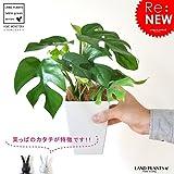 LAND PLANTS ヒメモンステラ 葉の形がとっても かわいい ミニモンステラ 4号サイズ