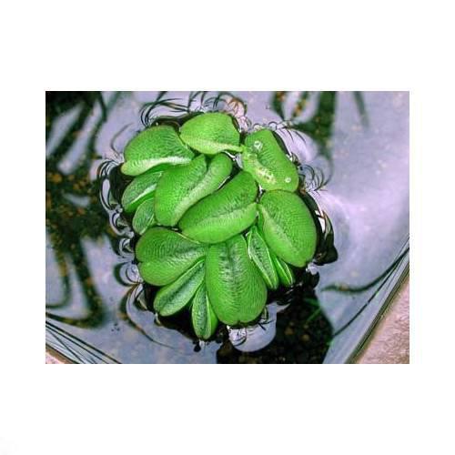 (ビオトープ/水辺植物)オオサンショウモ(無農薬)(3株) 本州・四国限定[生体]