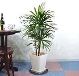観葉植物 シュロチク(シュロ竹)8号 スクエアタイプG