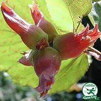 ヘーゼルナッツ 苗 【ロードゼラヌート】 2年生 挿し木 スリット鉢植え