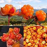 天然植物種子クラウドベリー種子北極ベリー種子Eh7E