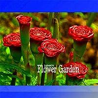 昇進!100個/ロットレッドカーネーション&レッドアップランプバルブ'多年草園、盆栽香り花
