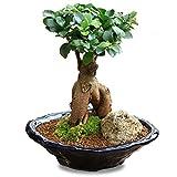 がじゅまる盆栽: 特選ガジュマル(多幸の樹)*【苔・石付き】【青軸変形鉢】