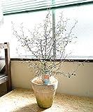 [エルフルール] 観葉植物 コロキア ワイヤースター 高さ:55cm