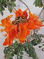 チューリップの木 - Spathodea Campanulata - 25種子フレスコア