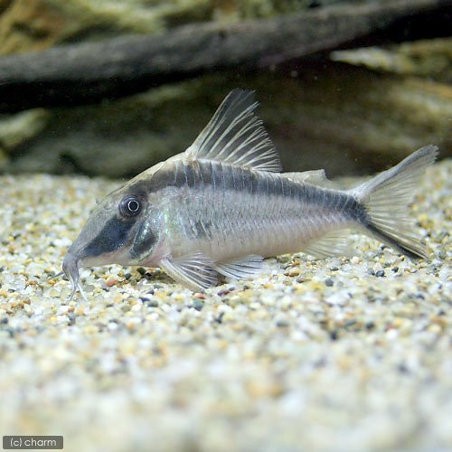 charm(チャーム) (熱帯魚) コリドラス・ナルキッスス(ワイルド)(1匹) 【生体】