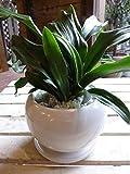 万年青(オモト)有田(ありた) 和風の和み テーブルサイズ(S-サイズ)インテリア陶器鉢植え 受け皿付き ミニ観葉植物