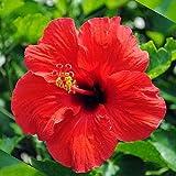 ハイビスカス鉢植え 赤色(レッド) 5号鉢植え 自宅用 誕生日プレゼント 花ギフト