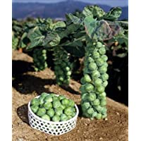 ポコポコ出来る栄養満点の冬野菜 芽キャベツのタネ 約10粒 第4種または一般郵便発送