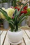 万年青(オモト)都の城(みやこのじょう) 和風の和み テーブルサイズ(S-サイズ)インテリア陶器鉢植え 受け皿付き