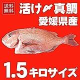 活け〆 真鯛 約1.5kgサイズ 丸ごと一匹尾頭付き(養殖:冷蔵便でお届け)◆愛媛を筆頭に最良の鯛をお届けします