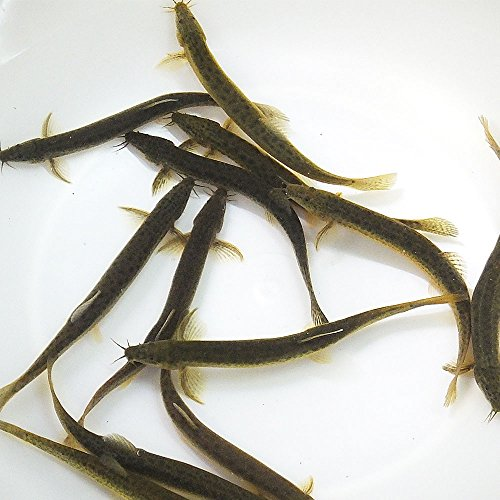 【生体】(淡水魚)生餌 エサ用ドジョウ/どじょう(10匹) S 10cm前後 川魚 釣り餌