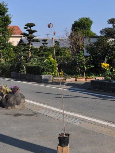 【1年間枯れ保証】【街路樹&公園樹】ヤマボウシ 0.8m10.5cmポット