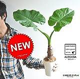 LAND PLANTS クワズイモ 白色4号鉢