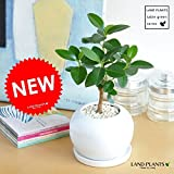 LAND PLANTS フランスゴム 白色丸型陶器