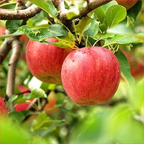 青森県産 ご家庭用 りんご サンふじ 10kg(25玉-50玉入り/ジュース・スムージー用)