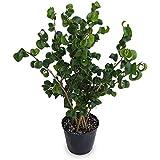 ベンジャミン(フィカス ベンジャミナ):バロック3.5号鉢植え[くるんとした葉がかわいい観葉植物]