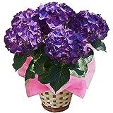 LKパープル ニキフルールのあじさい 父の日 あじさい アジサイ 紫陽花 花鉢植え 花 ギフト プレゼント 贈答品 エンゲイタツジンハハヒアジサイハナハチウハナゾウトウヒン (LKパープル)