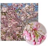 桜[サクラ・エドヒガン系]:雨情枝垂れ(ウジョウシダレ)接木1~2年生4~5号ポット
