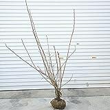 庭木:アメリカコデマリ (ディアボロ) 100cm 根巻大株