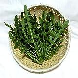 千葉県産 ワイルドルッコラ セルバチカ 生イタリア野菜 鮮度保持フィルム包装 50g クール便