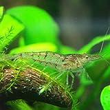 ミナミヌマエビ 10匹+死着補償1匹 エビ 飼育用・餌用にも