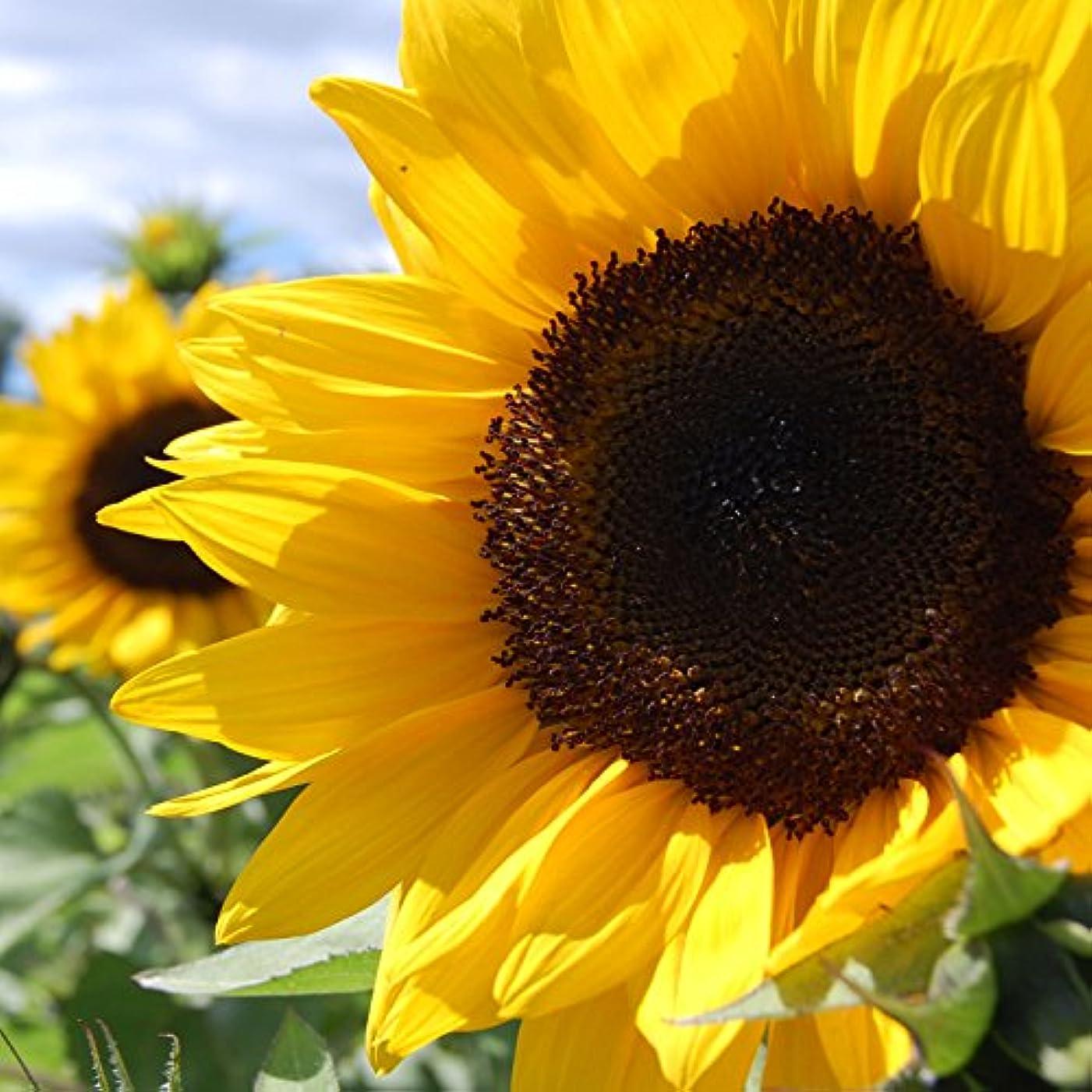 ブーム意図する笑アロマフレグランスオイル ひまわり(Sunflower)