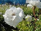 バラ苗 つるアイスバーグ オリジナル角鉢 中苗 つるバラ 薔薇 初心者に超おすすめ 耐陰性 壁面仕立て アーチ フェンス