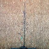 ハナミズキ クラウドナイン 白花 単木 樹高1.5~1.8m前後 (根鉢含まず)
