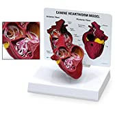 米国輸入【犬】フィラリア 犬心臓糸状虫症模型 病理学【キーカード付】Canine Heartworm Model