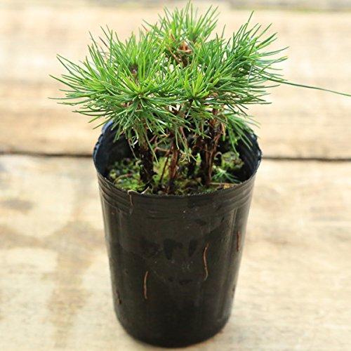 苗:赤松寄せ植え