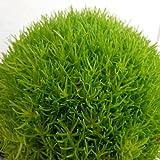 サギナ(アイリッシュモス):ライトグリーン3号ポット 6株セット ノーブランド品