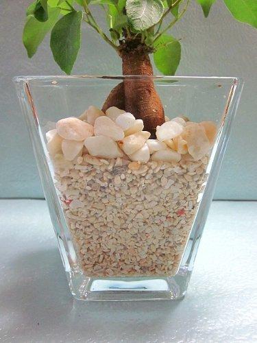 ハイドロカルチャー 水耕栽培 スクエア 9.5パイ サンゴ砂 ガジュマル