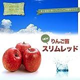 """リンゴ """"スリムレッド"""" 1年生 接ぎ木 苗 果樹苗木 果樹苗 りんご"""
